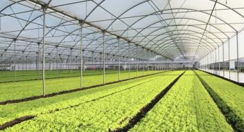 Lettuce inside the greenhouse