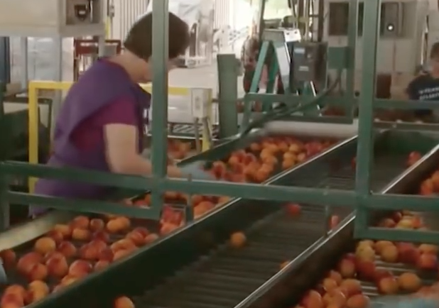 Sorting and grading of fruits